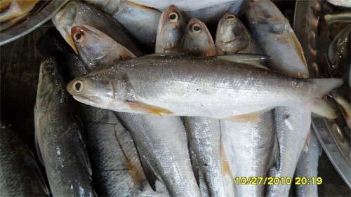 Indian salmon fish - photo#8