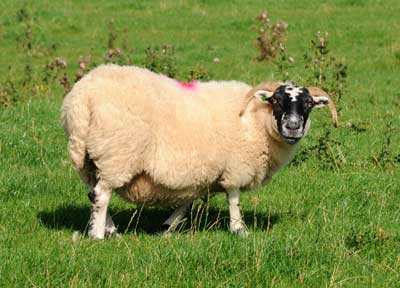 Scottish Blackface Sheep Nitty Grits